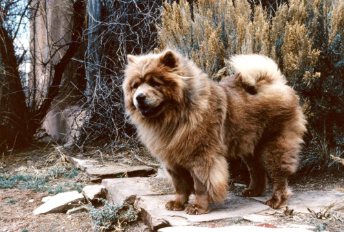 Georgia O'Keeffe's red chow...possibly Jingo who died shortly before she did. Photo taken after 1972 -Courtesy Georgia O'Keeffe Museum