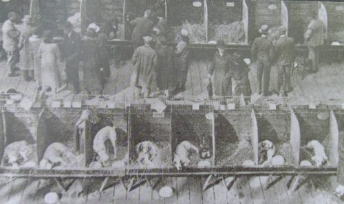 Benching at Crufts in 1891
