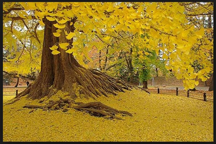 THE BREATHTAKING GOLDEN YELLOW COLORATION OF THE GINKGO IN THE AUTUMN