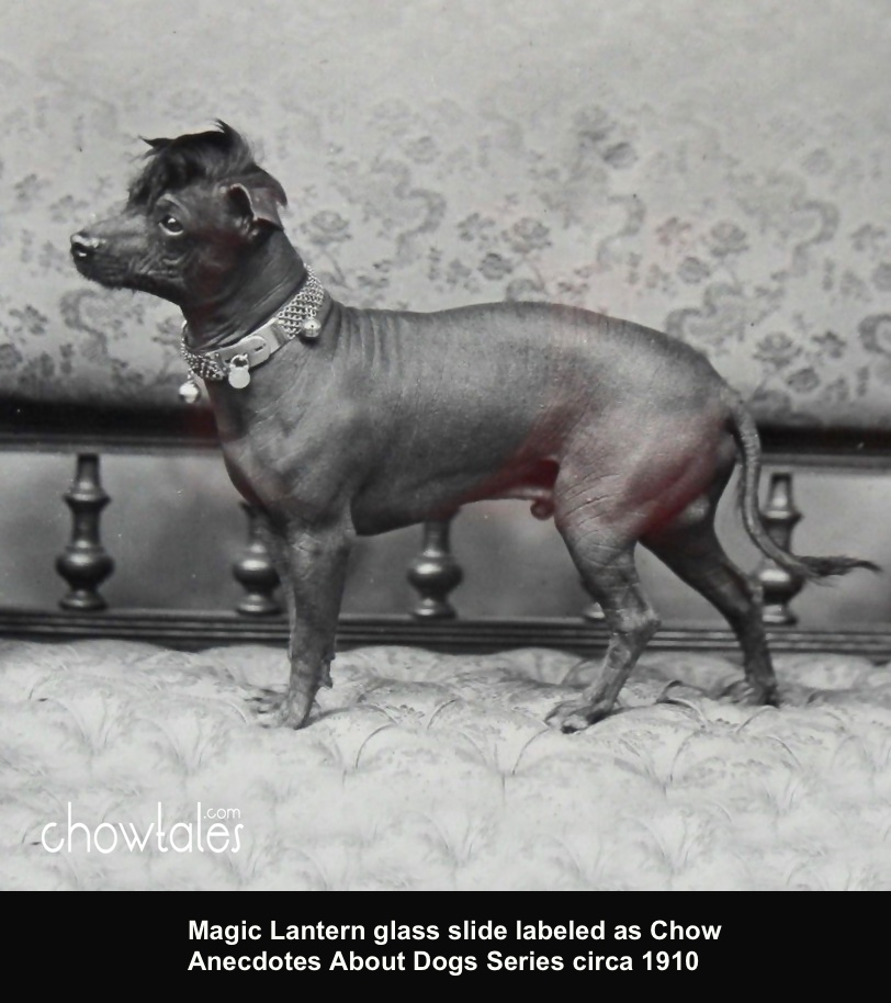 Chow Hairless Anecdotes About Dogs Series Magic Lantern Glass Slide
